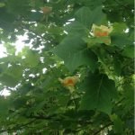 Tulip-like blooms on tulip poplar, Tennessee state tree